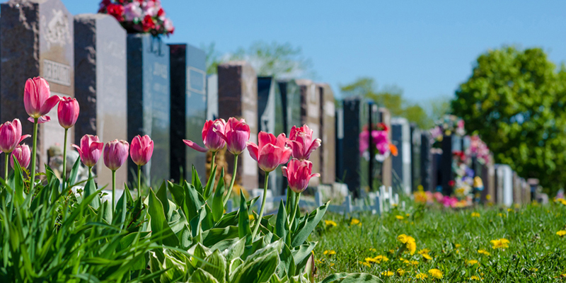 Aligned headstones in a cemetary with pink tulips in the foreground